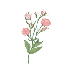 Eustoma or lisianthus pink blooming flower hand vector