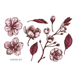 collection hand drawn colored sakura vector image