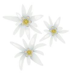 edelweiss flowers leontopodium alpinum vector image