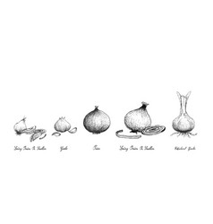 Hand drawn of fresh bulb vegetables on white backg vector