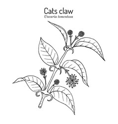 Cats claw uncaria tomentosa or vilcacora vector