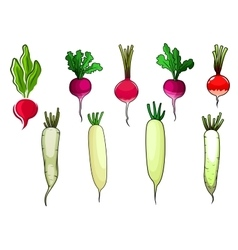 Red radishes and white daikon vegetables vector