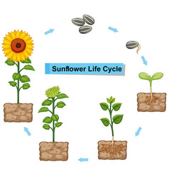 diagram showing life cycle of sunflower vector image vector image