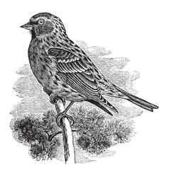 Common redpoll vintage vector