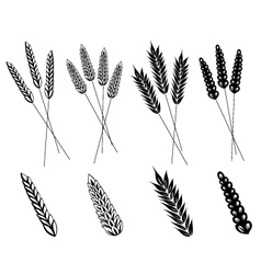 Grain corn wheat vector