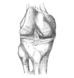 Knee joint showing interior ligaments vintage vector