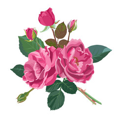 summer or spring blooming roses or peonies vector image