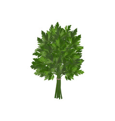 Bunch of fresh parsley coriander vector