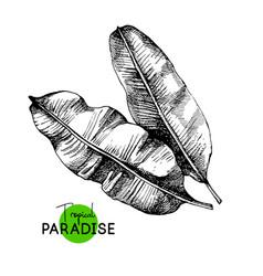 hand drawn sketch tropical paradise plant banana vector image