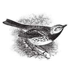 Black throated green warbler vintage vector