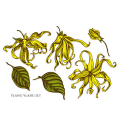 collection of hand drawn colored ylang vector image