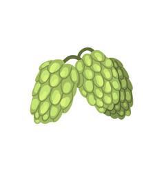 creen hop cones humulus lupulus plant element vector image