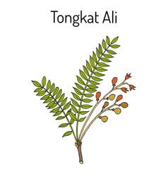 Tongkat ali eurycoma longifolia or pasak bumi vector