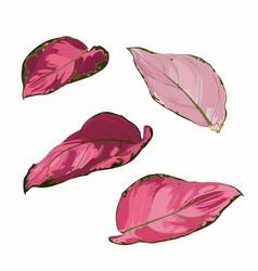 aglaonema houseplant leaves set vector image
