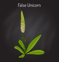 False unicorn chamaelirium luteum or blazing vector