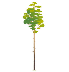 One tall pine tree isolated vector