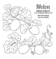 melon plant set on white background vector image