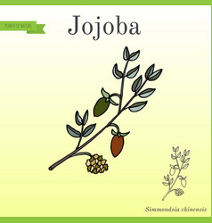 Jojoba branch with fruits vector