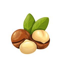 Macadamia nuts with leafs vector