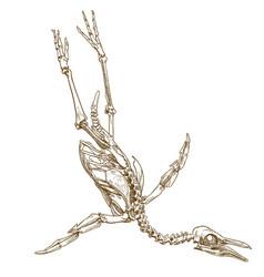 Engraving of penguin skeleton vector