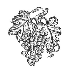 grapes with leaves sketch engraving vector image
