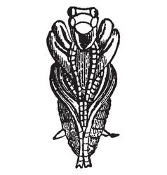 Under side of pupa of tiger beetle vintage vector