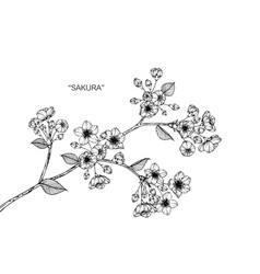 sakura flower drawing vector image