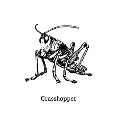A grasshopper drawn insect vector