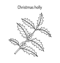 Holly ilex aquifolium tree branch with leaves and vector