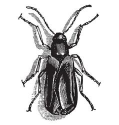 Sitaris humeralis vintage vector