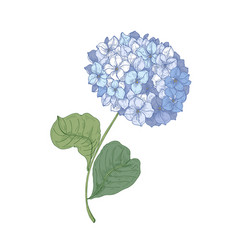 Hydrangea or hortensia blooming flower isolated on vector