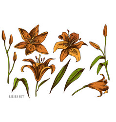 set hand drawn colored lilies vector image