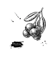 blueberry drawing isolated hand drawn vector image