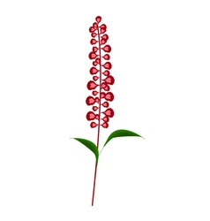 Scarlet Sage Flowers or Salvia Splendens Flower vector image