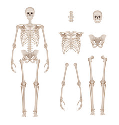 Human skeleton body parts skull bones hands foot vector