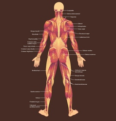 Musculature posterior vector image