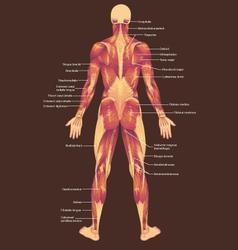 Musculature posterior vector
