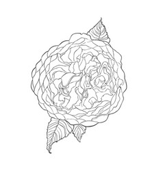 Contour sketch image of austin rose flower vector