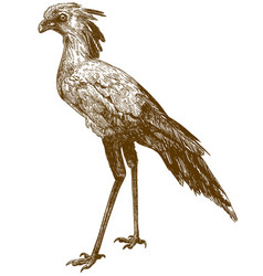 engraving drawing of secretary bird vector image
