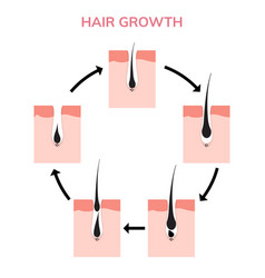 Hair growth cycle skin follicle anatomy anagen vector