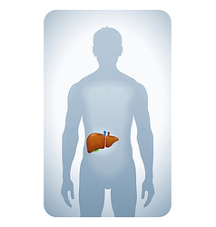 liver highlighted vector image
