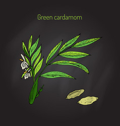 aromatic plant green or true cardamom vector image