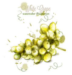 white grapes watercolor painted splash vector image