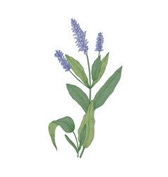 salvia flowers or sage inflorescences isolated on vector image