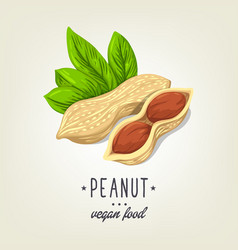 Sketch of realistic peanut with leaves and vector