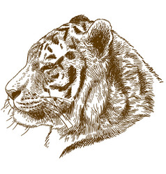 engraving drawing of siberian tiger or amur vector image