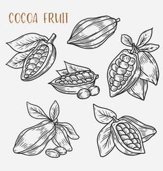 Sketches of cocoa beans on pod cacao plant vector