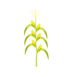Corn on stalk icon vector