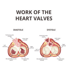 Heart valves anatomy vector