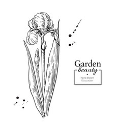 iris flower and leaves drawing hand drawn vector image